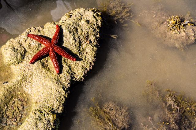 Estrela do mar na praia da Cotia   Bella Valle
